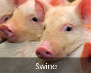 Swine Feed Products