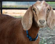 Sheep & Goat Feeds