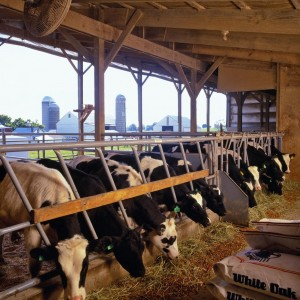 White Oak Mills-Fed Heifers