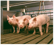 White Oak Mills weaner pigs